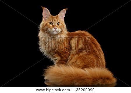 Beautiful Red Maine Coon Tabby Cat Sitting with Large Ears and Furry Tail Looking in Camera Isolated on Black Background, Side view