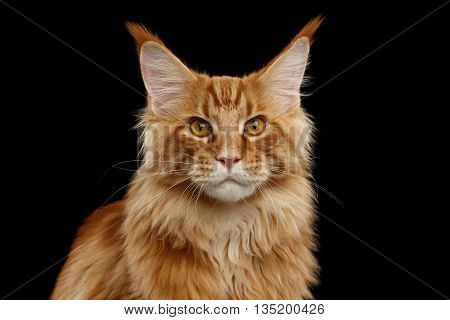 Close-up Portrait of Red Maine Coon Cat Looking in Camera Isolated on Black Background