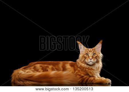 Large Red Maine Coon Cat Lying and Looks in Camera Isolated on Black Background, Side view