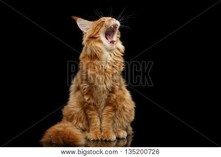 Curious Red Maine Coon Cat Sitting and Yawn Isolated on Black Background, Front view