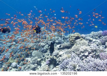 colorful coral reef with shoal of exotic fishes anthias at the bottom of tropical sea underwater