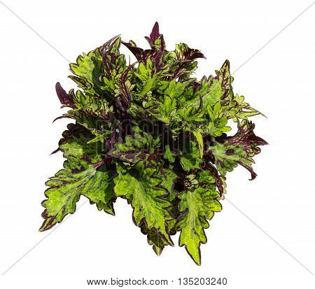Painted Nettle On White Background.