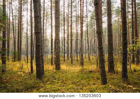 Wild autumn coniferous forest reserve. Nature of evergreen coniferous forest. Scenic view.
