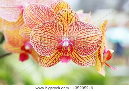 Orange phalaenopsis orchids flower in the garden.