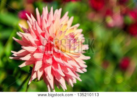Dahlia Flowers In Point Defiance Park In Tacoma