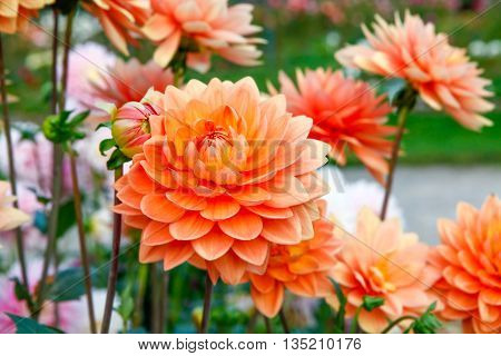 Dahlia Orange Flowers In Point Defiance Park In Tacoma