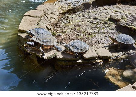 The red-eared turtles bask in the sun