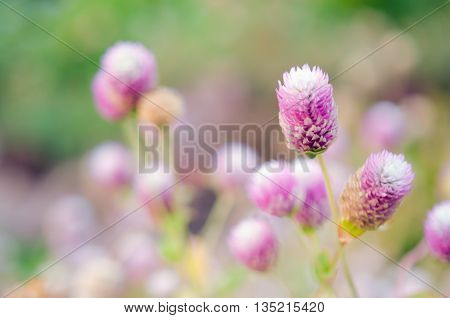 Globe Amaranth Flower in the field (Other names are Amaranthus Tampala Tassel Flower Flaming Fountain Fountain Plant Joseph's Coat Love-lies-bleeding Amaranth Molten Flower Prince's Feather and Summer Poinsettia)