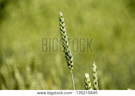 Field with young green wheat crop in spring