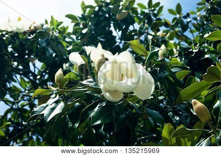 White magnolia grandiflora bud on a tree