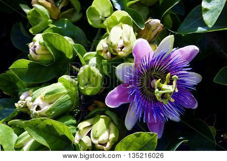 Open flower Passiflora purple and lilac shades near the tight buds
