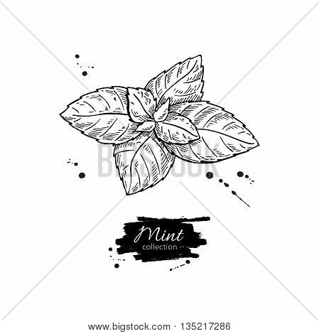 Mint vector drawing. Isolated mint plant and leaves. Herbal engraved style illustration. Detailed organic product sketch. Cooking spicy ingredient