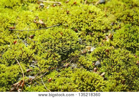 Green moss background. Forest moss on a ground
