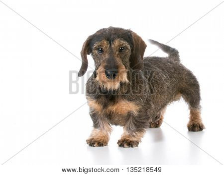 miniature wirehaired dachshund standing on white background