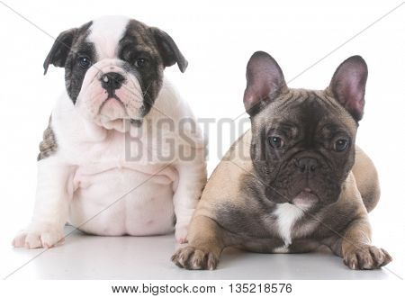 English and french bulldog puppies looking at viewer on white background