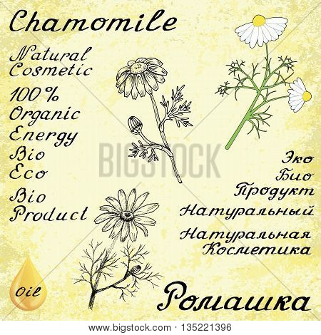 Chamomile. Set of 3 drawing and hand-lettering. English and Russian texts. Eco Friendly. For labels flyers online stores. Natural cosmetic. Bio products. Botanical sketch