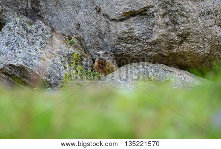 Marmot Marmota marmota Cute animal sitting under a stone nature rock habitat Alp Swiss