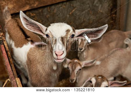 Goat Kids In Corral On Farm
