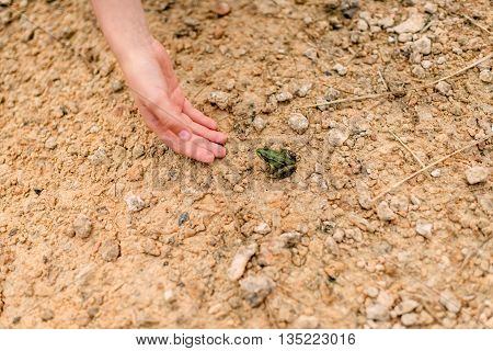 child's hand catching small green frog on shore