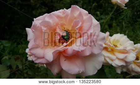 green beetle is eating a rose. Green ruby in pink rose