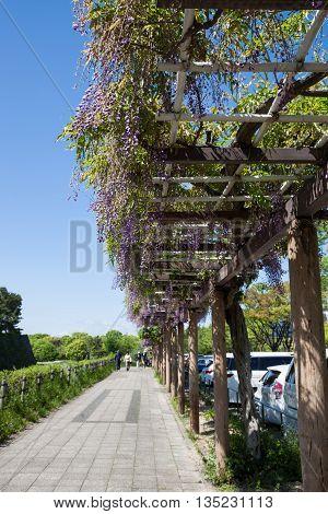 Spring flowers series. wisteria trellis in garden