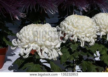 A big white dahlia flower on sunny day