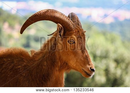 Portrait of a Ibex in its natural habitat
