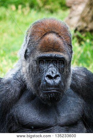 Portrait Of A Gorilla Male In A Native Habitat