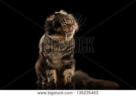 Furry Maine Coon Cat Sitting and Shaked his head Isolated on Black Background, Front view