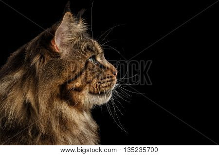 Close-up Portrait of Huge Maine Coon Cat Looking up Isolated on Black Background, Profile view