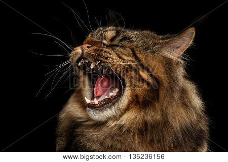 Close-up Portrait of Angry Maine Coon Cat Hiss Isolated on Black Background, Profile view