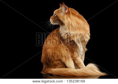 Ginger Maine Coon Cat with Futty Tail Sitting and Curious Looking Back Isolated on Black Background, Profile view