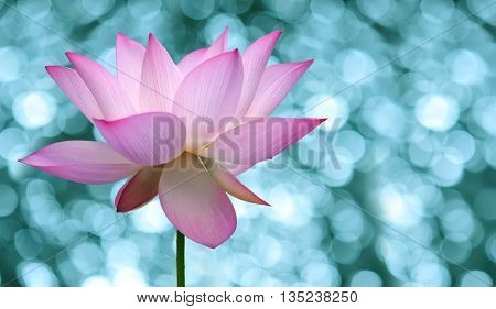 Water pink lily flower over colorful background