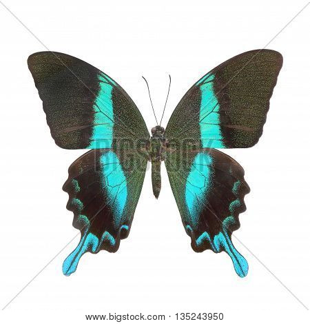 Papilio blumei isolated on white for backgroung