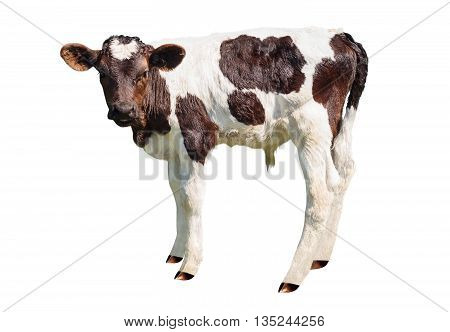 Young black and white calf isolated on white background. Newborn baby cow