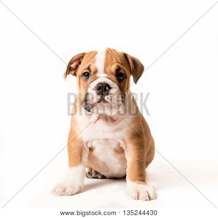 Cute puppy of English Bulldog isolated on white background