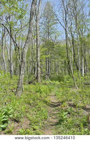 A landscape in spring forest: path trees and flowers.
