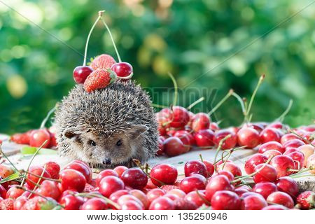 curious hedgehog Atelerix albiventrisamong the berry on green leaves background
