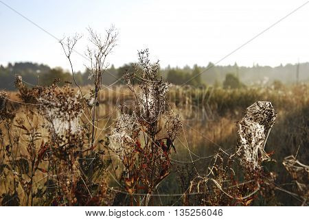 entangling spiderweb on plants autumn nature russian countryside