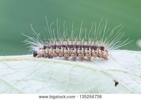 Caterpillar on green leaf background selection focus