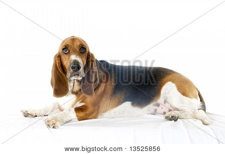 Bassett Hound on side with white background