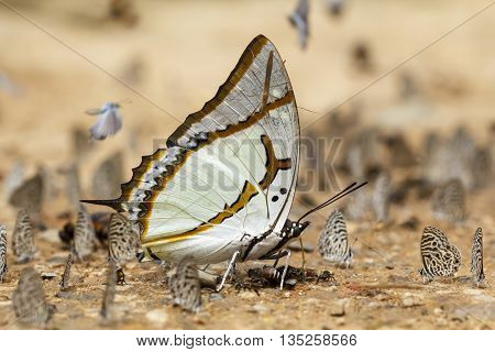 Great Nawab, buuterfly on sand in Thailand