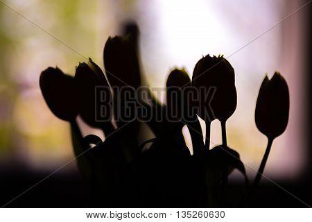 tulip silhouette beautiful flowers black with light