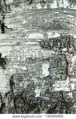 Texture of birch bark background tree wood
