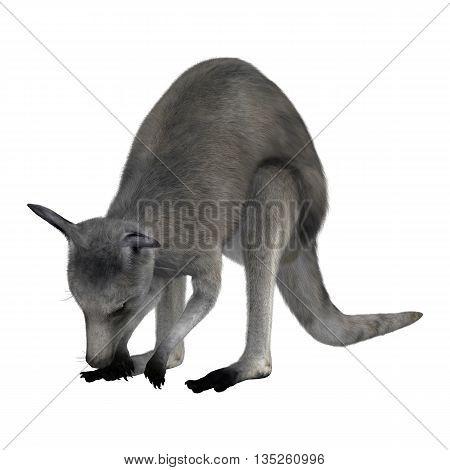 3D rendering of an Eastern grey kangaroo or Macropus giganteus or great grey kangaroo isolated on white background