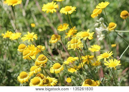 Yellow daisy-like flowers growing along a gravel roadway