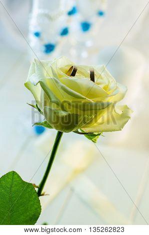 Golden wedding rings on white rose beautiful