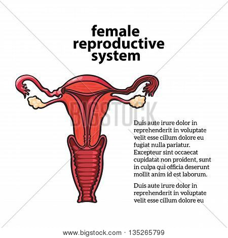 female reproductive system, vector sketch hand-drawn illustration isolated on white background