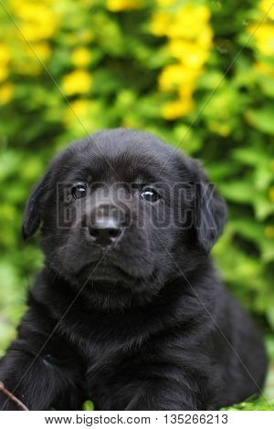 small black Labrador puppy lying in the garden under the beautiful yellow flowers