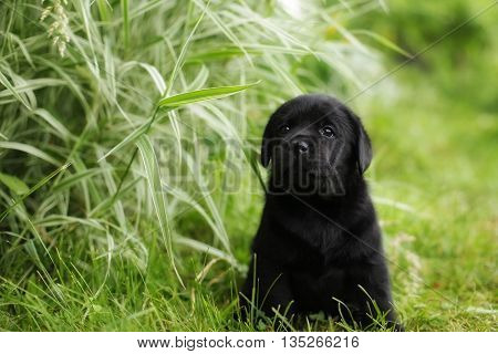 beautiful black pedigree Labrador puppy sits in the summer outdoors in the grass